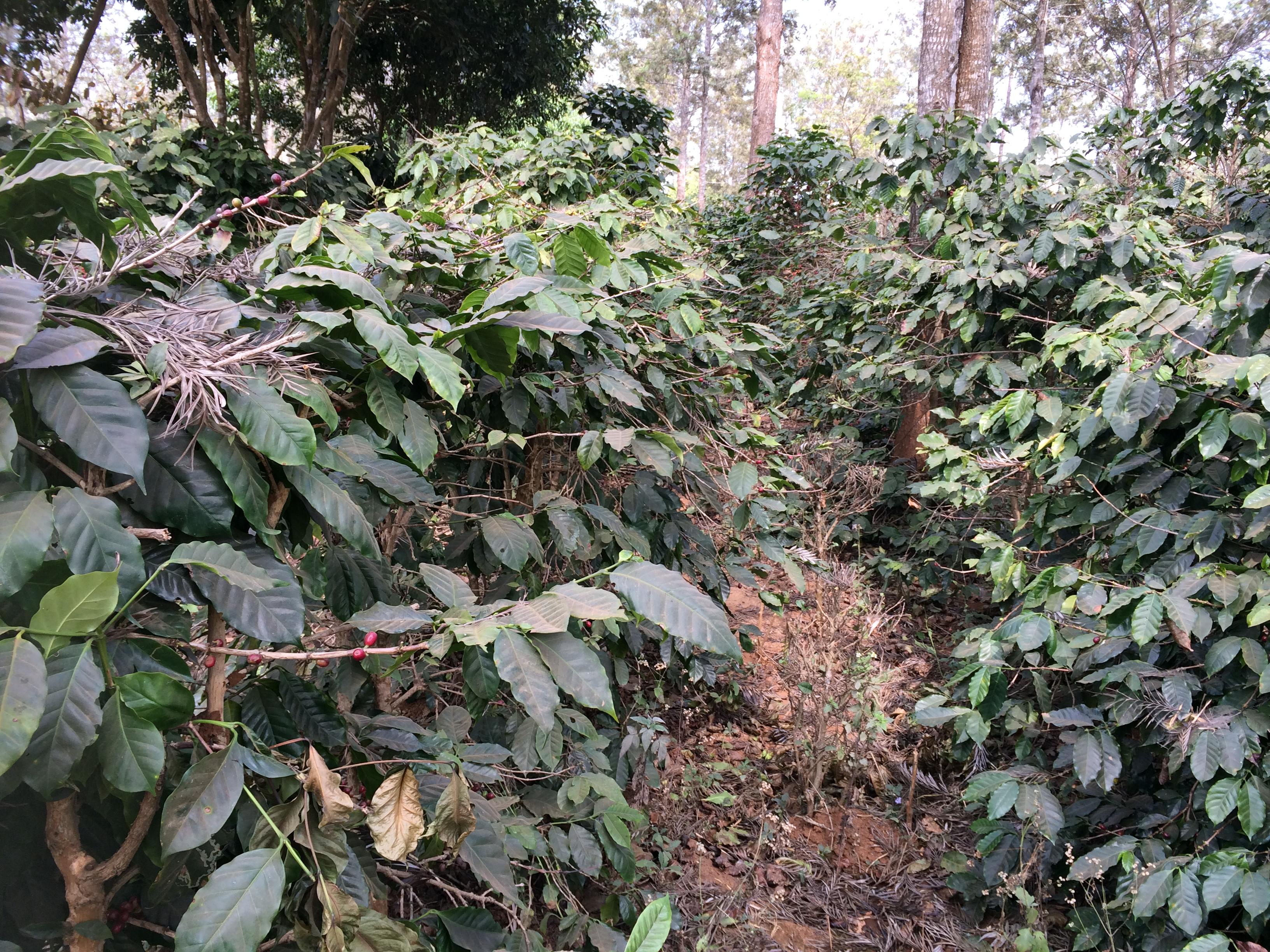 コーヒー豆の畑