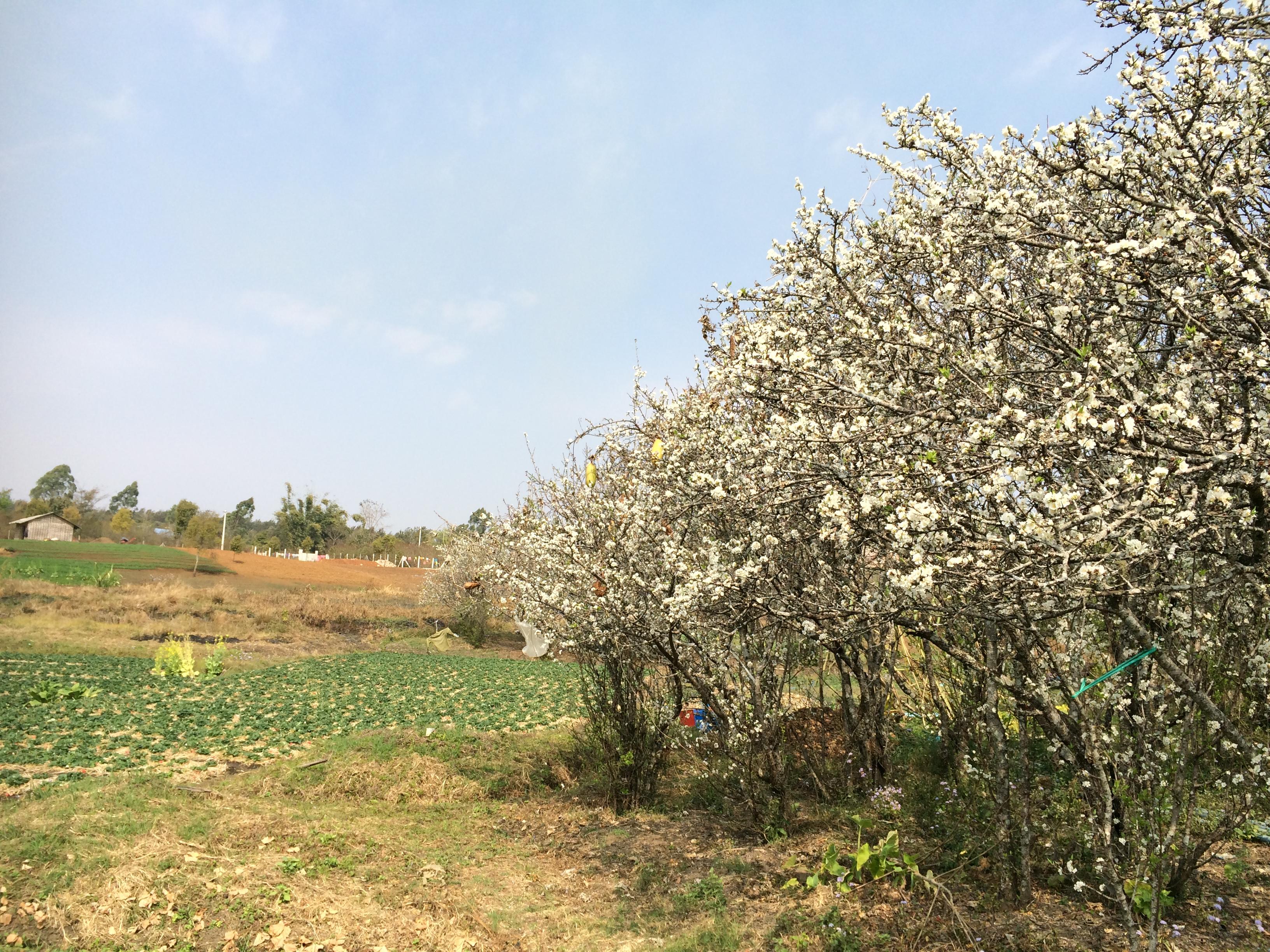 桜が咲いている