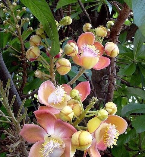 ミャンマーで3月に咲く花
