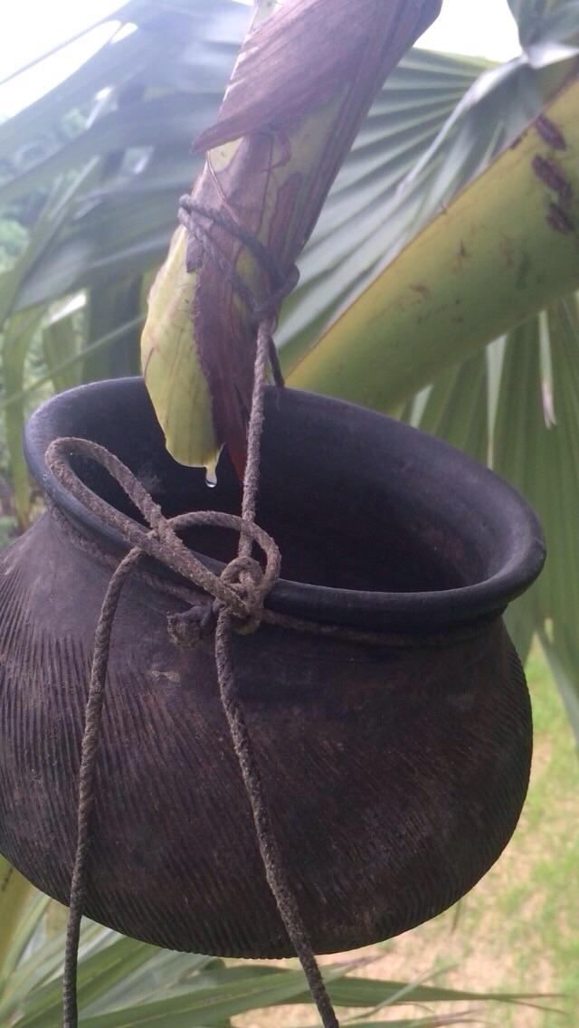 花の咲いている枝を切ってヤシの汁を壺で受けているところ